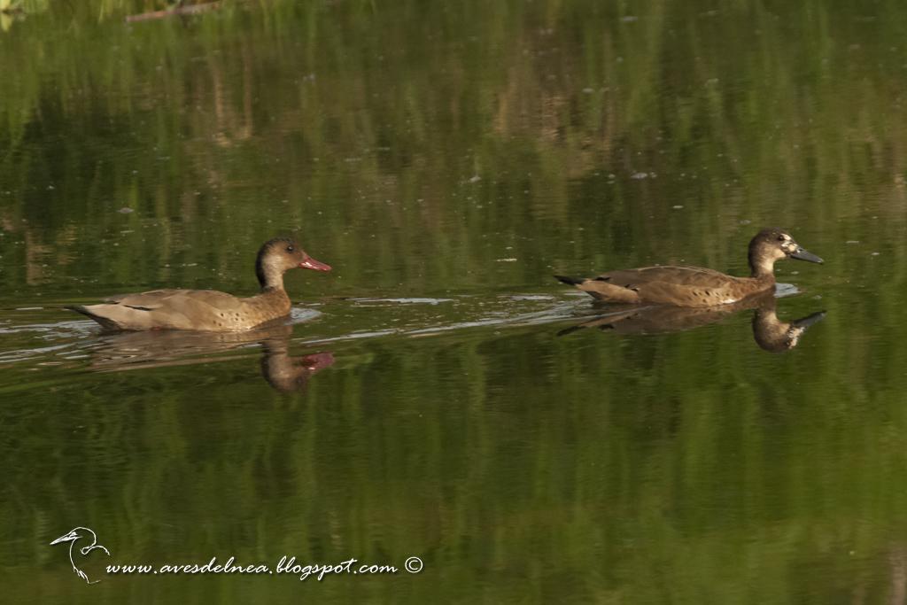 Pato cutirí (Brazilian Duck) Amazonetta brasiliensis