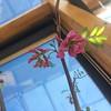 Acacia en flor
