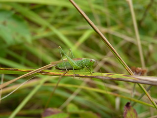 Long Winged Conehead