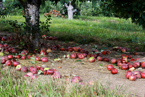 under the apple tree, apples, apple orchard, apples on the ground
