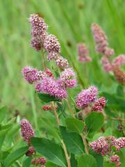 shrub(0.0), annual plant(1.0), flower(1.0), plant(1.0), lilac(1.0), herb(1.0), flora(1.0), meadowsweet(1.0),
