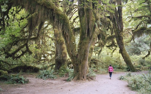 'Green Drapes', Washington, Olympic National Park, Hoh Rain Forest