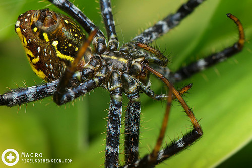A Tent Spider grooming itself- Cyrtophora sp.  ♀