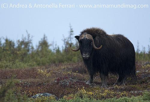 reefwondersdotnet posted a photo:Musk-Ox Ovibos moschatus bull, Nunavik tundra, Quebec, Canada