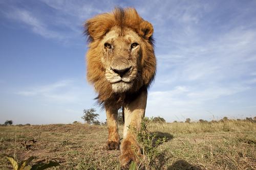 肯亞馬賽馬拉自然保護區的非洲獅。(來源:naturepl.com / Anup Shah / WWF-Canon)