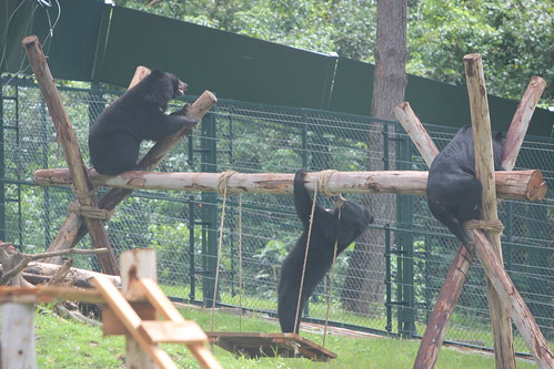 Rescued moon bears recover in Animals Asia's Vietnam Bear Rescue Centre
