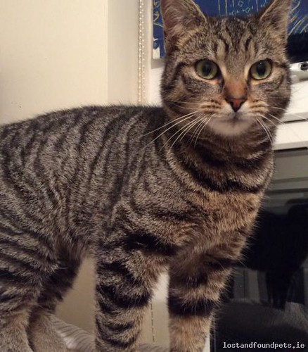 Fri, Mar 17th, 2017 Found Female Cat - The Local Area, Dunleer, Louth