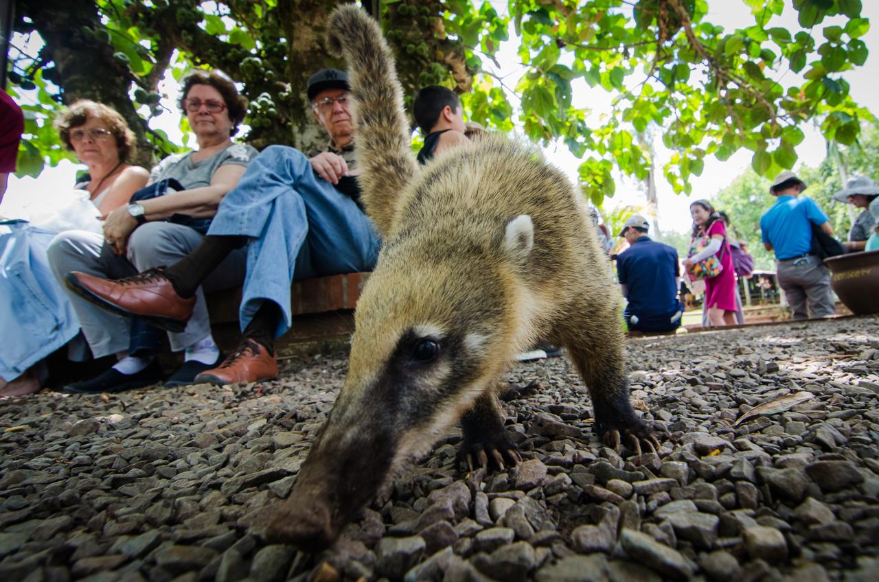 Un coatí (nasua) busca desenfrenadamente los restos de comida que los turistas van dejando, acostumbrado a la presencia multitudinaria, este animal hace show y risas con su osadía para robar alimentos de las manos de los desprevenidos. (Elton Núñez).