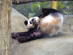 Memphis Zoo 08-31-2016- Giant Panda Ya Ya (Female) 6