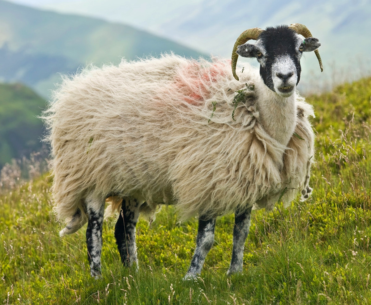A Swaledale ewe in the Lake District. Credit David Iliff
