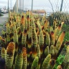 Its springtime in Tacoma and the mutant asparagus are about to bloom