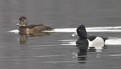 Ring-necked Duck (Male & Female)