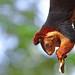 Malabar Giant Squirrel by Anuj Nair