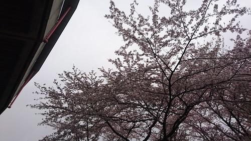 バックスタンド裏手の桜