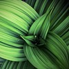Veratrum viride by ProSession
