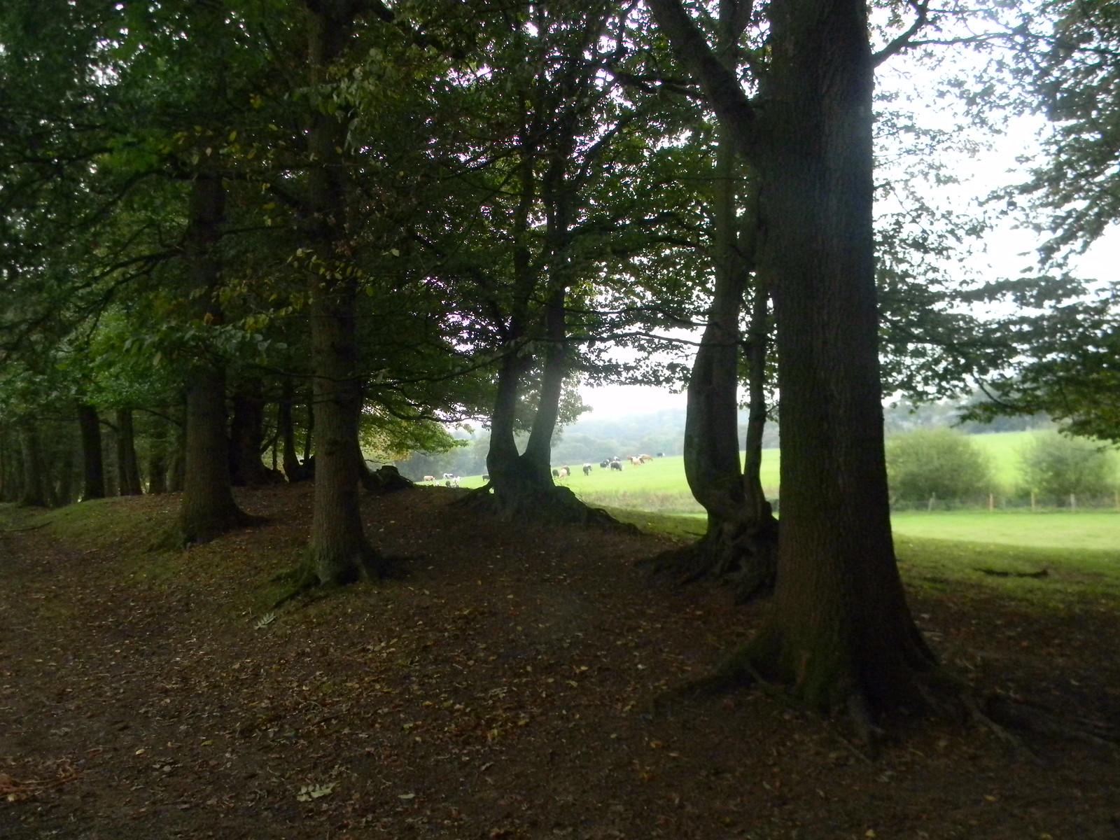 Cows through trees Ockley to Warnham