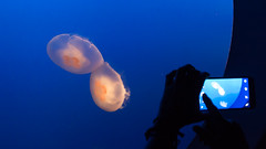 Jellies Picture-Taking