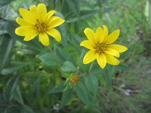 Yellow Daisy/aster sp.