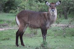 animal, deer, waterbuck, fauna, white-tailed deer, wildlife,