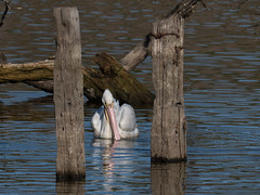 P2410239.jpg American White Pelican (Pelecanus erythrorhynchos)
