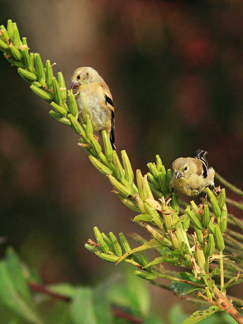 American Goldfinches 20140924