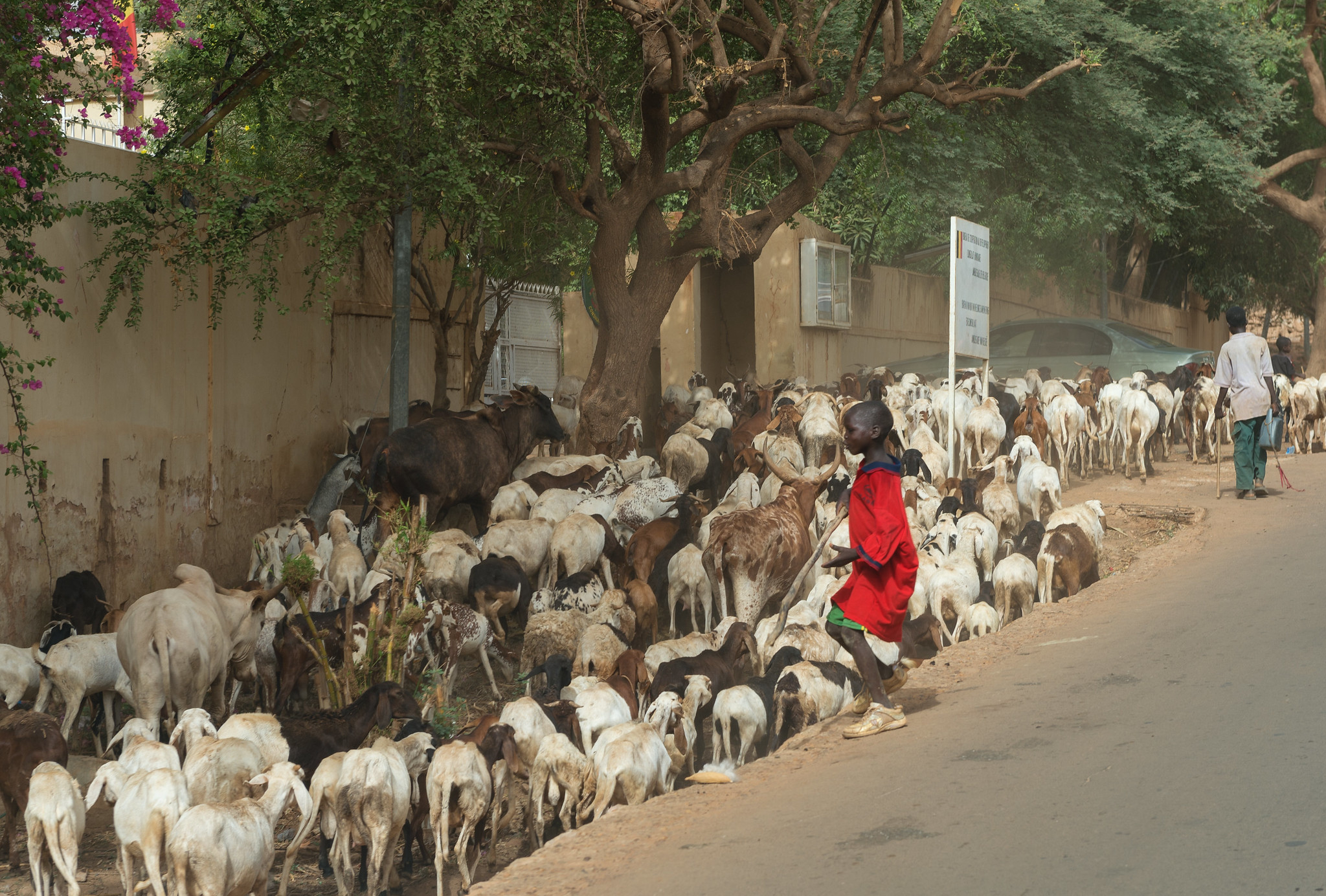 Goat Herder in Niamey