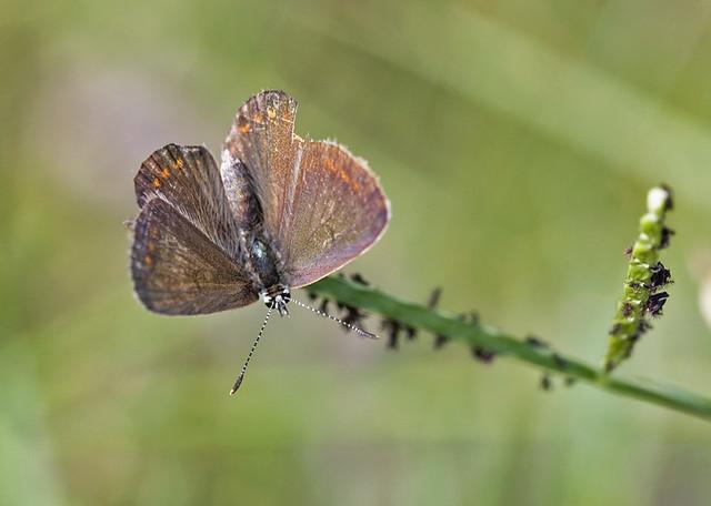 Polyommatus admetus