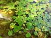 foglie e acqua fino alla pietra