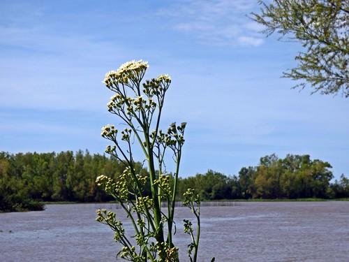 flores en la orilla de Margarita de bañado (Senecio bonariensis)