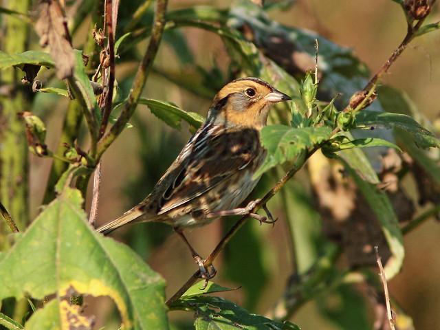 Nelson's Sparrow 07-20140929
