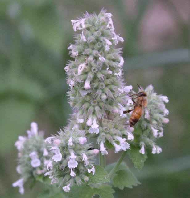 bee pollinating catmint