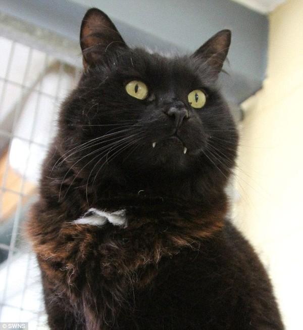 Chú mèo đen có cặp răng nanh như ma cà rồng