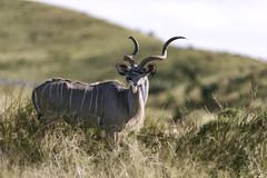 animal, prairie, antelope, wildebeest, mammal, horn, fauna, kudu, savanna, grassland, safari, wildlife,