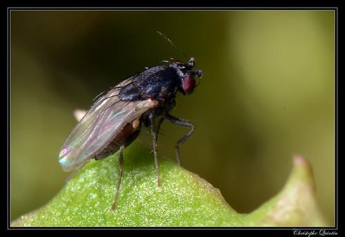 Sphaeroceridae (Leptocera sp. ?)