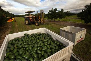 A lot of avocados