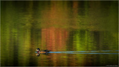 Early Autumn Colours With Wood Duck