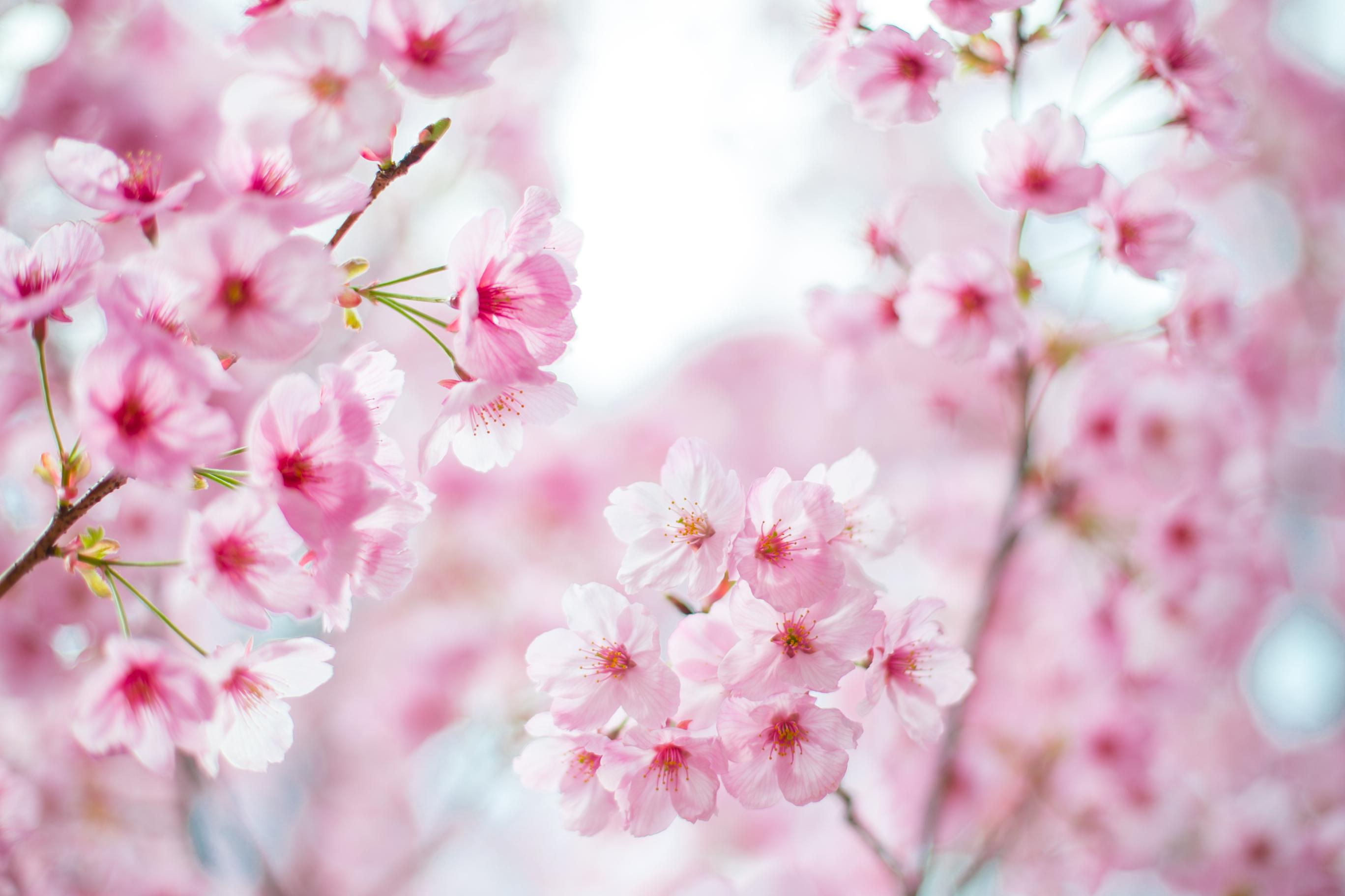 Osaka Sakura