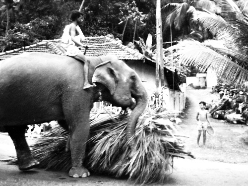 Sri Lanka, Working Elephants