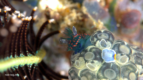 トサカリュウグウウミウシの幼体