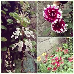 Mi jardín er Blüht! #Blumen #flores #jardin #Garden #flowers #garden #hobbies #gardening #jardineria