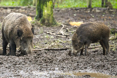 animal, peccary, wild boar, pig, fauna, pig-like mammal, wildlife,