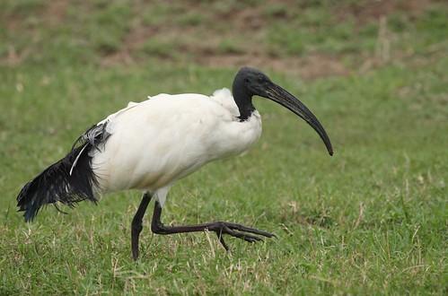 African Sacred Ibis. Wikipedia
