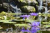 Lily Pond at the Arboretum
