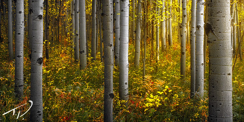 autumn interesting colorful fallcolor vibrant vivid professional fallfoliage aspens rockymountains exciting aspentrees focusstacking intimatelandscape tylerporter tylerporterphotography