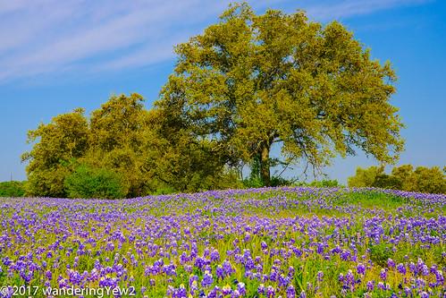 fujixpro2 llanocounty texas texashillcountry texaswildflowers bluebonnet flower wildflower hillcountry