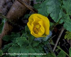 Celandine Poppy  budding bloom