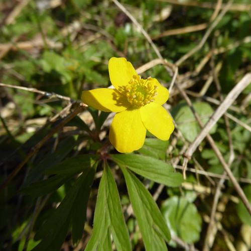 Gelbes Windröschen an der Westlichen Günz / Unterallgäu , NGIDn1471783094