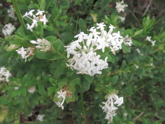 Pimelea ligustrina subsp. hypericina 2
