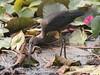 Glossy Ibis by SivamDesign