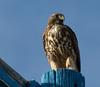 Swainson's Hawk on post 2
